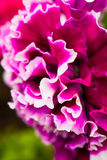 Double Petunia Royalty Free Stock Images