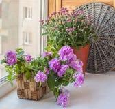 Double petunia in a basket Stock Photos