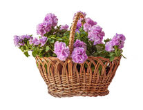 Double petunia in a basket on white  background Royalty Free Stock Image