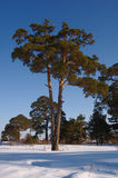 Double pine. Tall double pine in snow Stock Image
