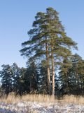 Double pine tree in winter forest Royalty Free Stock Images
