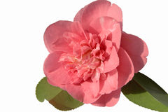 Double Pink Camellia. Double pink and white camellia with its own leaves upside down to greater contrast Stock Photos