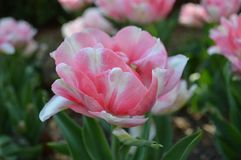 Double Pink Fancy Tulip Close Up. A double fancy tulip close up from the Holland Michigan Tulip Time Festival Royalty Free Stock Photography