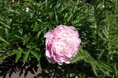 Double pink flower of peony. In the garden Stock Images