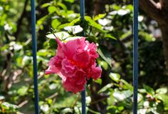 Double Pink Hibiscus flower peers through wrought iron railings. Double medium pink Hibiscus bloom contrasting with wrought ir9n rails of fence Royalty Free Stock Images