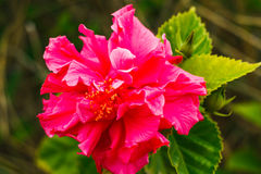 Double pink  hibiscus on tree in the garden. Horizontal photo, photo took in  New Zealand, photo is usable on picture post card, calendar, gardening Stock Images
