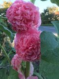 Double pink hollyhocks in a garden. Large pink flowers Stock Photos