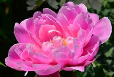 Double pivoine herbacée rose Edwards Gardens Images stock