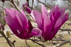 Double plaisir Tulip Tree Blossoms image stock