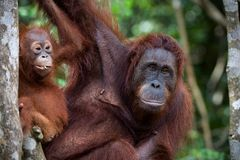 Double portait. Portrait of largely mum-orangutan with a cub against green leaves Royalty Free Stock Photography