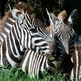 Double portrait of zebras. Two heads of a zebra close up against a dark background Stock Photos