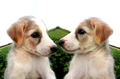 Double puppy dogs Royalty Free Stock Photos