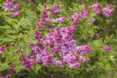 Double purple lilac Stock Image