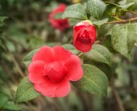Double red camellia. Flower double red camellia in the greenhouse in February royalty free stock images