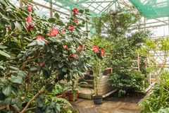 Double red Camellia in a greenhouse. Blooming double red Camellia in a greenhouse royalty free stock photo
