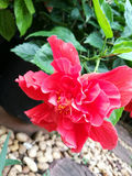 Double red hibiscus Royalty Free Stock Photos