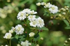 Double Reeves Spirea. White flowers - Latin name - Spiraea cantoniensis Lanceolata royalty free stock photos