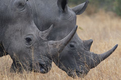 Double Rhino Royalty Free Stock Photo