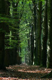 Double row of Beeches Royalty Free Stock Image