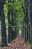 Double row of old beeches Stock Photo