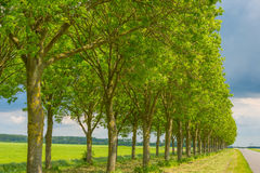 Double row of trees along a field in spring Stock Photo