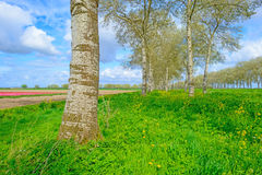 Double row of trees along a field in spring Stock Images