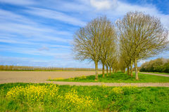 Double row of trees along a field in spring Stock Image