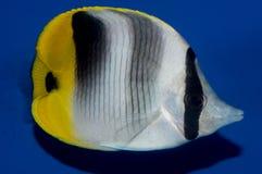 Double Saddle Butterflyfish Stock Image