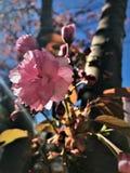 Double Sakura Cherry Blossoms rose sur la branche Photographie stock