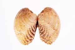 Double sea shell isolated on white background Royalty Free Stock Image