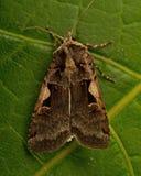 A double square spot moth Xestia c-nigrum Stock Photo