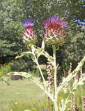 A double stemmed Scottish Thistle against a natural background Stock Photography