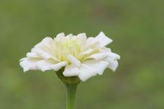 Double stems White Dahlia Stock Photos