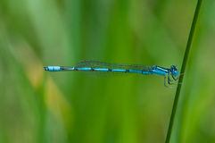 Double-striped Bluet. Hanging on a plant royalty free stock photos