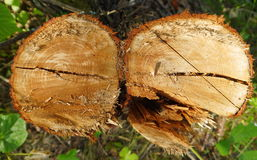 Double stump Royalty Free Stock Photography