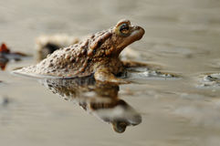 Double Toad. This toad is sitting on the coast of a little lake Royalty Free Stock Photography