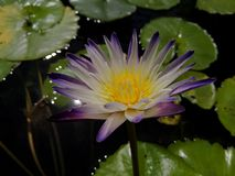 Double tone waterlily stock images