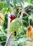 Double-toothed barbet peering out from behind a leaf. Double-toothed barbet Lybius bidentatus peering out from behind a leaf in a papaya tree Royalty Free Stock Photos
