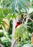 Double-toothed barbet peering out from behind a leaf. Double-toothed barbet Lybius bidentatus peering out from behind a leaf in a papaya tree Stock Image