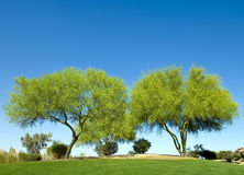 Double Tree. Two Palo Verde trees growing by each other, California, USA stock photos