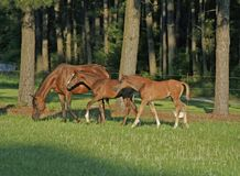 Double Trouble. Arabian mare with two foals Royalty Free Stock Image