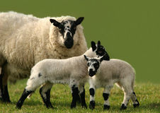 Double Trouble. Two speckled lambs with their mother in a field Royalty Free Stock Photos