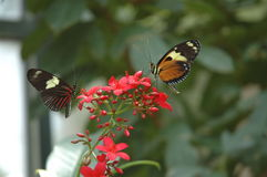 Double Trouble. Butterfly duo captured at the Denver Aquarium.  Plenty of room left for you to crop. Very versatile photo Stock Images