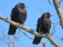American Crows on a tree  Royalty Free Stock Photography