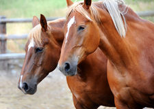 Double Trouble. Two horses in corral, in Happy Valley, Montana, makes you think you are seeing double. Young horses are both chestnut with a star on their faces royalty free stock images