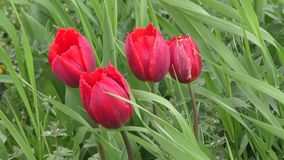Double tulip red color. Swinging in the wind stock video