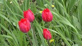 Double tulip red color. Swinging in the wind stock video footage