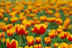 Double tulipe photos libres de droits