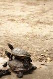 Double turtles Stock Photo