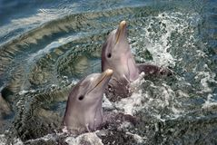 Double Up Dolphins. Two Dolphins playing in the warm waters of Mexico Royalty Free Stock Photography